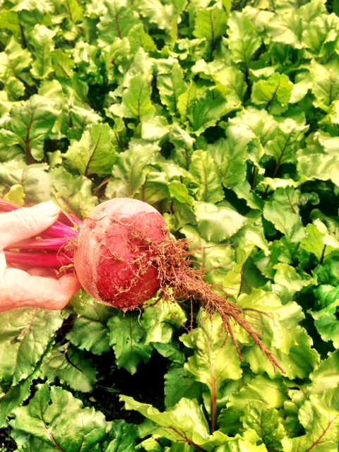 red farm beetroot