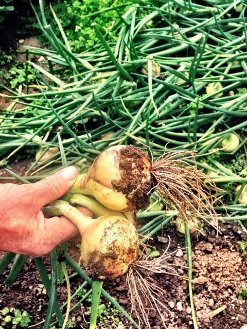 white farm onions