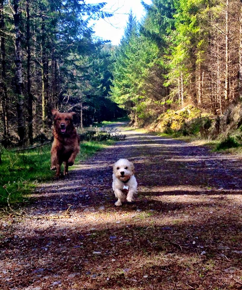 cavachon and golden retriever running in woods